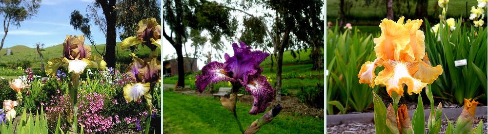 Nola's Iris Garden