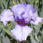Alien Mist - Tall bearded Iris