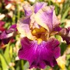 Amethyst Suncatcher - Tall bearded Iris