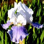 Antarctique - Intermediate bearded Iris