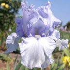 Azure Whir - Tall bearded Iris
