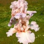 Berry Blush - Tall bearded Iris