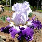 Bob's Pride - Tall bearded Iris