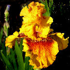 Tall bearded Iris Burst