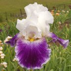 Dime a Dance - Tall bearded Iris