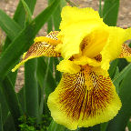 Hold that Tiger tall bearded Iris