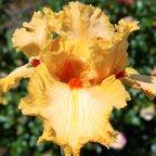 Tall bearded Iris - A L'Orange