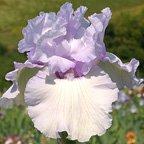 Pearl-of-Lavender.jpg