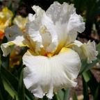 Tall-bearded-Iris-Aureoles
