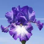 Violet-Shimmer.jpg