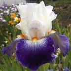 Vive La France - tall bearded Iris