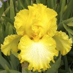 Warm Wishes tall bearded Iris